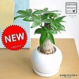LAND PLANTS パキラ 白色丸型陶器鉢