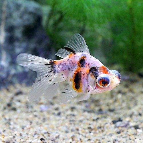 (国産金魚)出目金(デメキン)キャリコ(1匹)