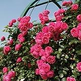 バラ苗 ポンポネッラ 国産大苗6号スリット鉢 つるバラ(CL) 四季咲き ピンク系