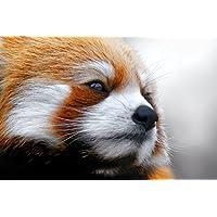 レッドパンダ動物 - #23878 - キャンバス印刷アートポスター 写真 部屋インテリア絵画 ポスター 90cmx60cm