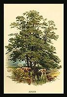Buyenlarge Alder Tree' Paper Poster 20 by 30-Inch [並行輸入品]