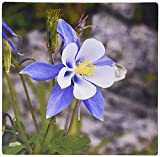 3dRose LLC 8 x 8 x 0.25 Inches Mouse Pad, Colorado Columbine (mp_120073_1) [並行輸入品]