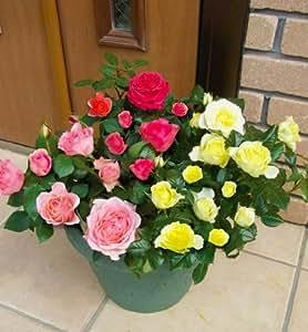 母の日 バラ 花鉢 フォーエバーローズ3色育ち 特別栽培限定品