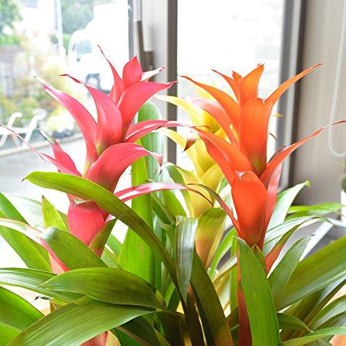 相武ガーデン グズマニア ミックス植え 7寸プラスチック鉢 開店祝い 開業祝い 敬老の日 ギフト 贈り物