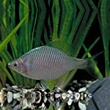 タイリクバラタナゴ Lサイズ 3匹 4cm~6cm タナゴ 川魚 淡水魚