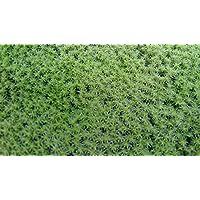 【栽培品 スナゴケ 50×35トレー】庭園 苔庭 盆栽 造園素材等 良質 説明書付き