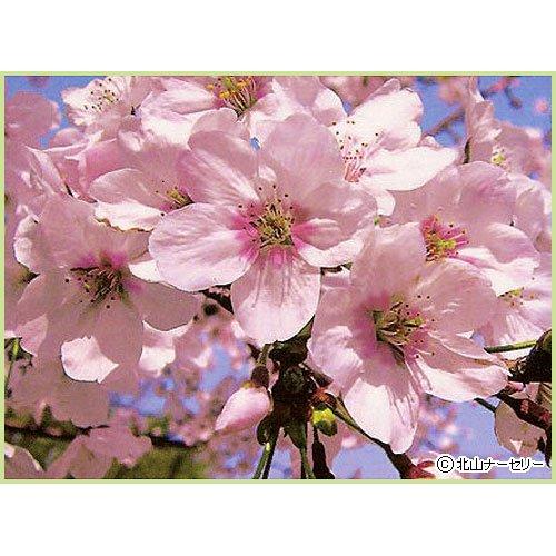 桜(サクラ)苗木 染井吉野桜