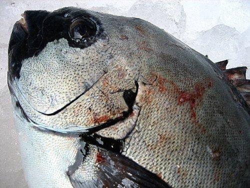 お刺身用 活石鯛2kg以上 山陰境港産