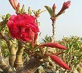 アデニウム アラビカム オベスム 砂漠のバラ種子(20粒)塊根植物種子20 Fresh seeds Adenium obesum Desert Roses seeds no409-Triple-Red-shell