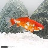 (国産金魚)更紗和金 三つ尾~四つ尾(1匹) 本州・四国限定[生体]