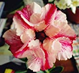 40 Fresh seedsアデニウム アラビカム オベスム 砂漠のバラ種子(40粒)塊根植物種子Adenium obesum Desert Roses seeds no79-Double-Mandrake