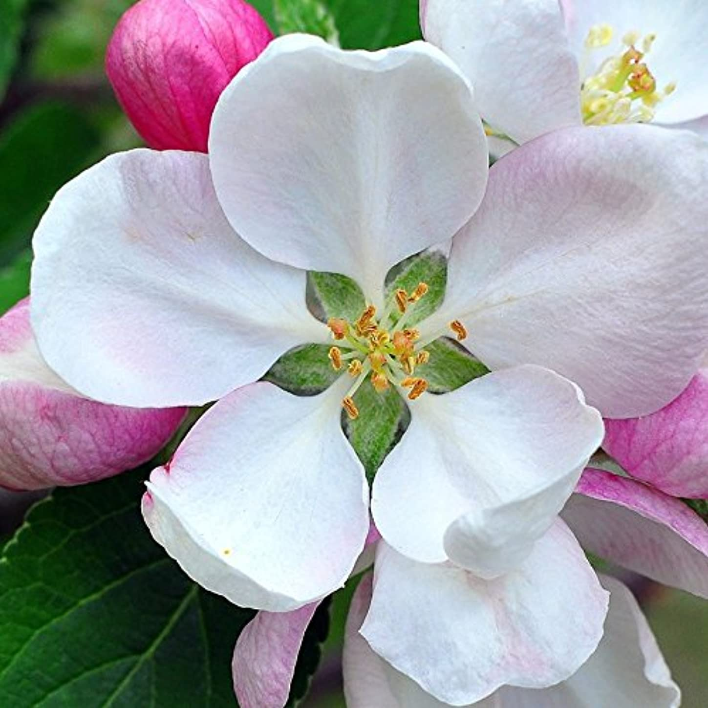 カレンダー守る五十アロマフレグランスオイル 日本モクレン(Japanese Magnolia)