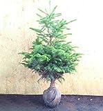 もみの木 (ウラジロモミ) 樹高1.0~1.2m前後 (根鉢含まず)