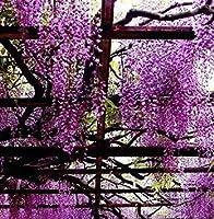 2:藤藤のE lingsシード高級菜園の種の花の種5種