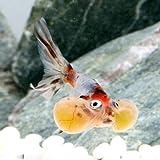 (金魚)(B品)キャリコ水泡眼(中国産)(1匹) 本州・四国限定[生体]