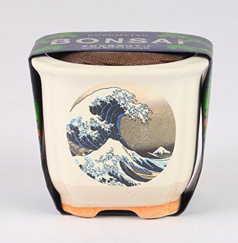 JAPANESE BONSAI 波富士 黒松