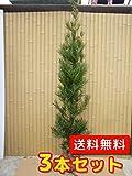 【ノーブランド品】 ラカンマキ 樹高1.5m前後 根巻き 【3本セット】