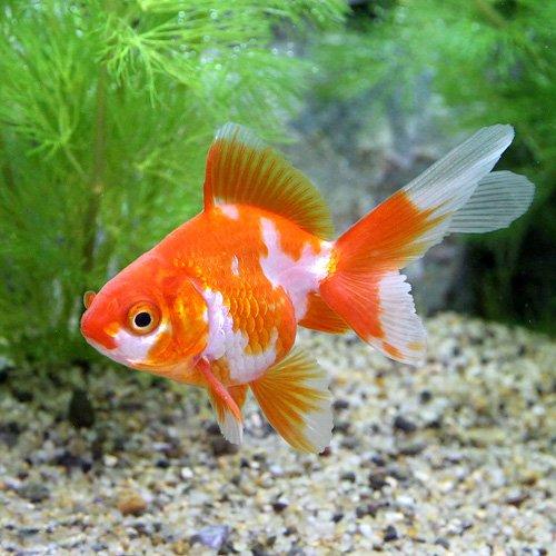 (国産金魚)更紗琉金(サラサリュウキン)(3匹) 本州・四国限定[生体]