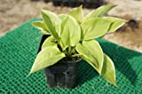 ホスタ フレグラントブーケ(斑入り ギボウシ) 日陰やワンポイントの植栽に最適♪