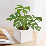 お手入れかんたん 観葉植物「ヒメモンステラ(スクエアホワイト)」日比谷花壇