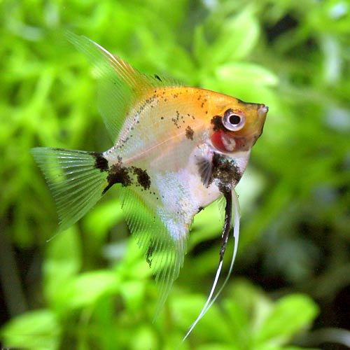 (熱帯魚)レッドデビル・エンゼルフィッシュ(ヨーロッパブリード)(3匹) [生体]