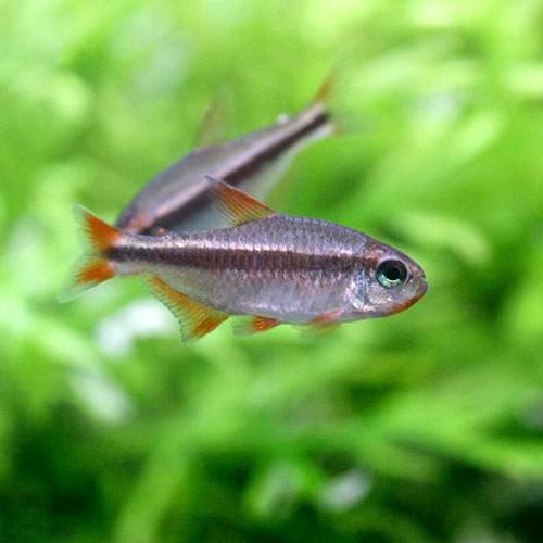 (熱帯魚)レッドデビル・テトラ オス(ワイルド)(3匹) 本州・四国限定[生体]
