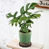 観葉植物「ヒメモンステラ(S)」 日比谷花壇