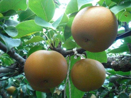 【畑からもぎたて直送】秋の味覚 天野果樹園の梨  2kg 3kg 5kg 【贈答用】(3kg(9〜11玉))
