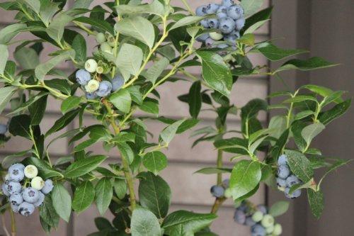 ガーデンベリー 佐々木 鉢植え ブルーベりー 贈答用実付き鉢 4年樹 1鉢