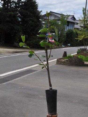 【6か月枯れ保証】【秋に収穫する果樹】カキ/平核無 15cmポット 5本セット
