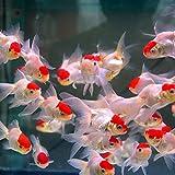 (国産)丹頂 金魚 3匹 Mサイズ 約5cm~約7cm