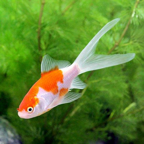 (国産金魚)コメット(3匹) 本州・四国限定[生体]