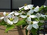 【1年間枯れ保証】【シンボルツリー落葉】ハナミズキ白花株立ち 2.0m露地 2本セット