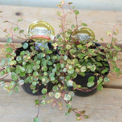 RoomClip商品情報 - 観葉植物:斑入りワイヤープランツ*2個セット(リーフプランツ・スポットライト苗)
