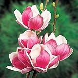 モクレン(マグノリア):サティスファクション4号ポット[2色咲きにも見えるユニークな花]