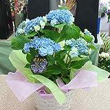 あじさい鉢植え 「おはよう」 ブルー 青色 花 ギフト
