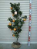 【柑橘大苗】 せとか 4年生 接木苗 【ガーデンストーリーの果樹苗木】