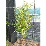 シマトネリコ 樹高1.5m前後 根巻 病害虫も少ないです。人気の株立ち 苗木 植木 苗 庭木 生け垣