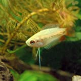 (熱帯魚)ゴールデンハニーレッド・ドワーフグラミー(3匹) 本州・四国限定[生体]
