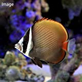 (海水魚)コラーレバタフライ(1匹) チョウチョウウオ 本州・四国限定[生体]