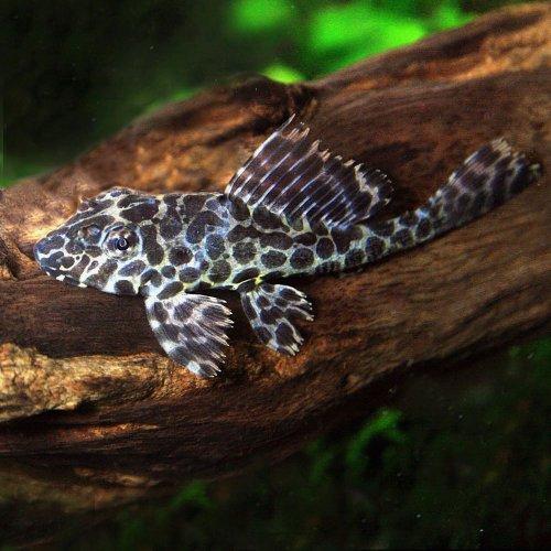 (熱帯魚)セルフィンプレコ(約5cm)<3匹>[生体]