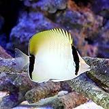 (海水魚)リーフバタフライフィッシュ(1匹) チョウチョウウオ 本州・四国限定[生体]