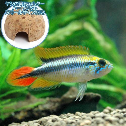 charm(チャーム) (熱帯魚) アピストグラマ・アガシジィ ダブルレッド(1ペア)+ココナッツシェルター(1個) 【生体】