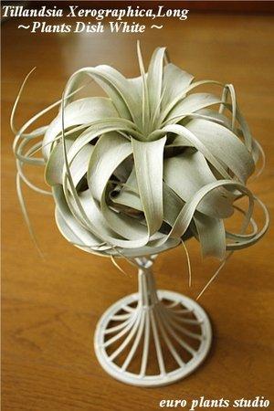 RoomClip商品情報 - エアープランツチランジア・キセログラフィカ プランツディッシュ(アンティークホワイト) インテリア観葉植物