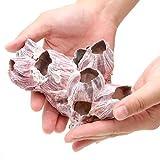 (海水魚 貝殻)フジツボの殻 Mサイズ(1個)(形状おまかせ) 本州・四国限定[生体]