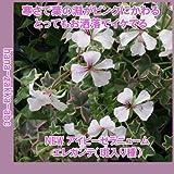綺麗な葉のゼラニウム ・アイビーゼラニウム エレガンテ(ゼラニューム)・3号苗 【花苗】