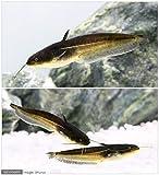 (淡水魚)ナマズ(1匹) なまず 本州・四国限定[生体]
