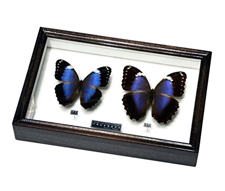 見る者を魅了する美しい蝶の標本 名和昆虫博物館 企画?製作 アキレナモルフォ蝶雌雄セット