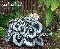 ホット販売100ピースベゴニア種子盆栽フラワー種子用植物ホームガーデン中庭バルコニーコリウス種子semenatsvetyルーム花