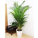 アレカヤシ 優雅なヤシの木 観葉植物 10号 大鉢 観葉植物 インテリア 大型 オシャレ 大きい 尺鉢